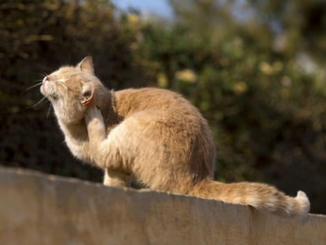 How to Tell if Your Cat has Fleas