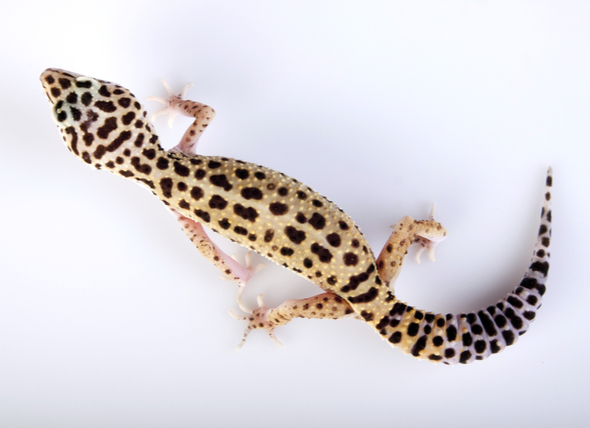 Body Condition Score for Reptiles 1