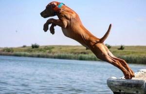 Funny  Vizsla Dogs Moments #1 - Cute Dog Video Compilation
