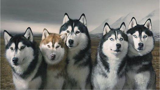 Alaskan Husky Breed Characteristics