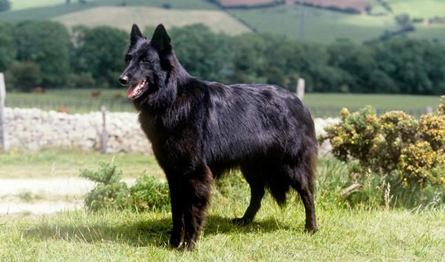 Belgian Sheepdog Breed Characteristics - Pet Care Plus