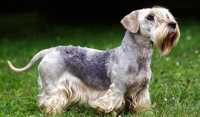 Cesky Terrier Breed Characteristics