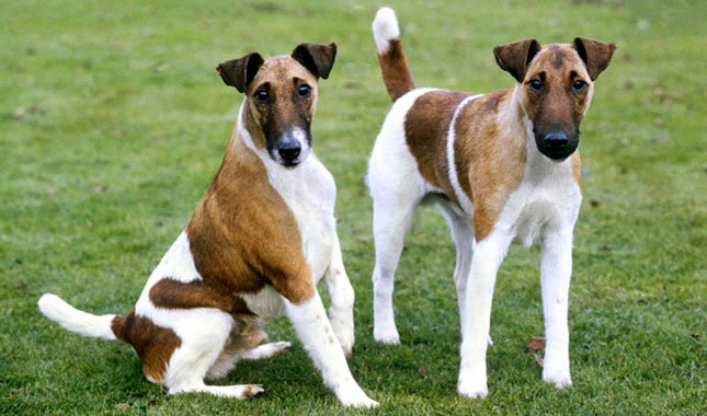 Smooth and Wire Fox Terrier Breed Characteristics