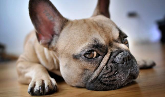 French Bulldog reed Characteristics
