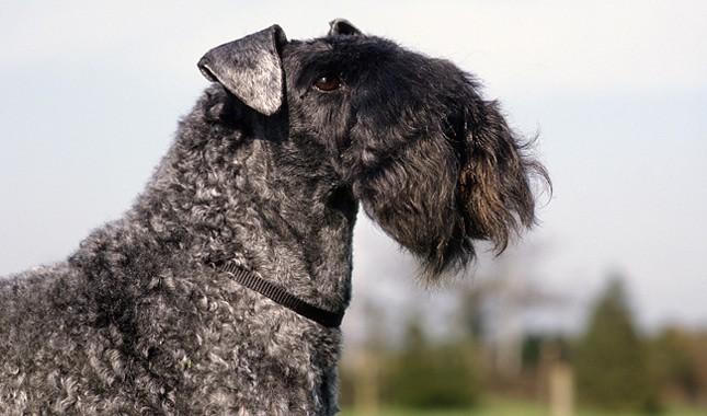 Kerry Blue Terrier Breed Information
