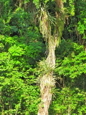 Tree festooned, St. Ann