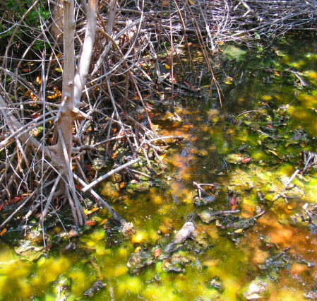 The strange (completely natural) colours of the swamp water among the mangroves at Salt River, Clarendon.