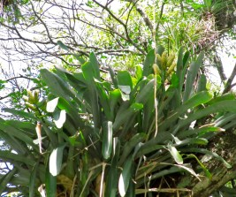 Spiky orchid plant on Holland Estate, St. Elizabeth. (My photo)