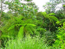 Tree ferns in the forest... In the Grand Etang National Park and Forest Reserve in Grenada.