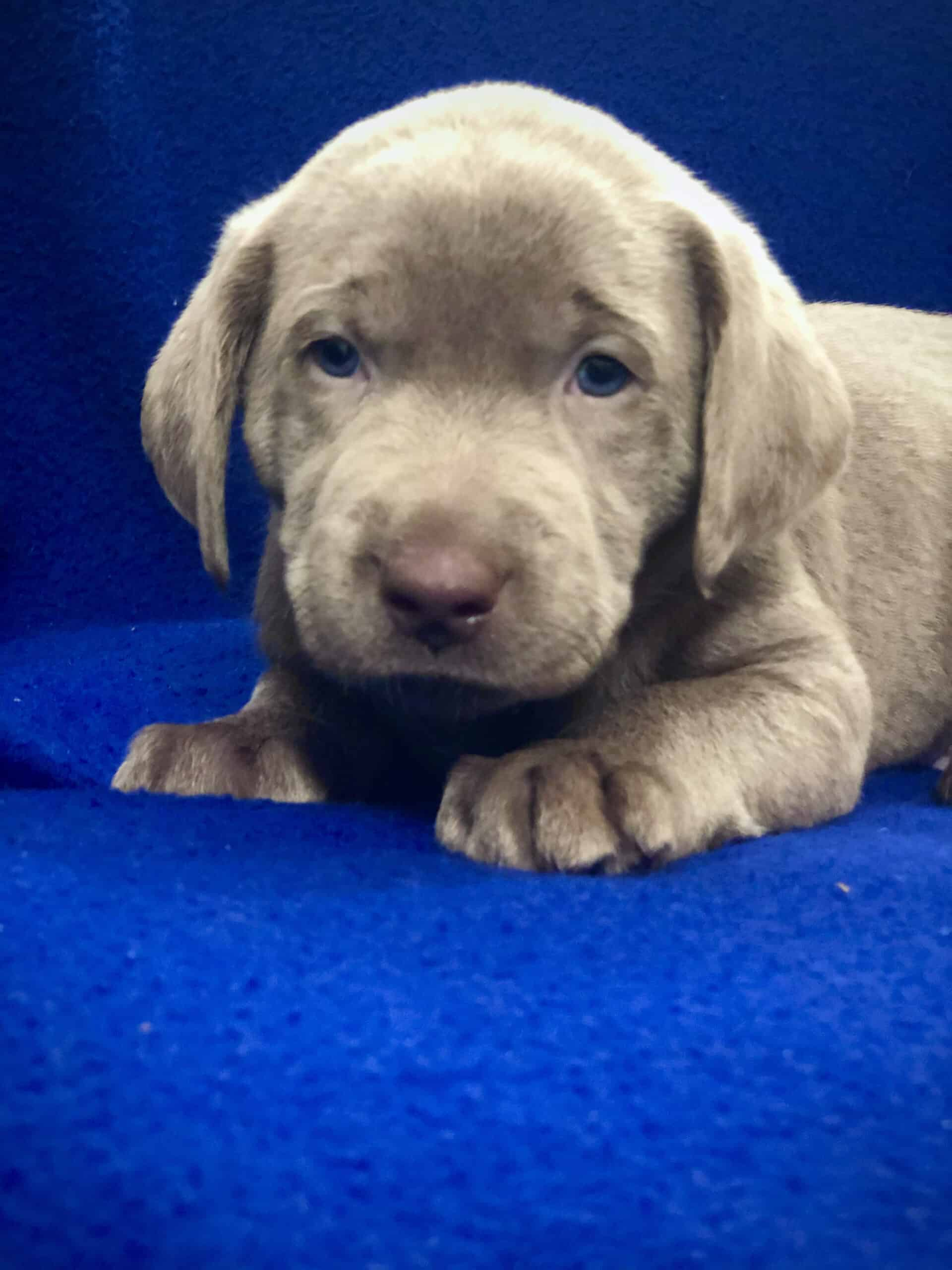 Silver Lab Puppies Oregon : silver, puppies, oregon, Silver, Labrador, Puppies