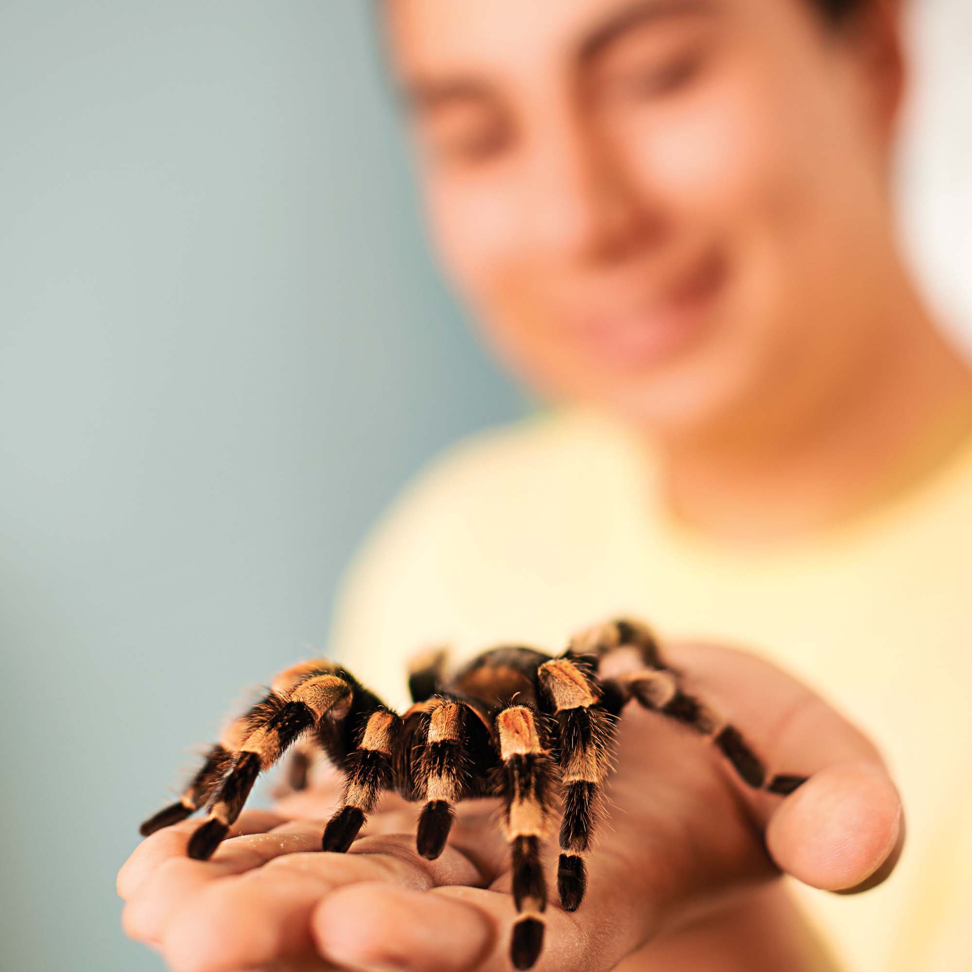 mexican redknee tarantula brachypelma