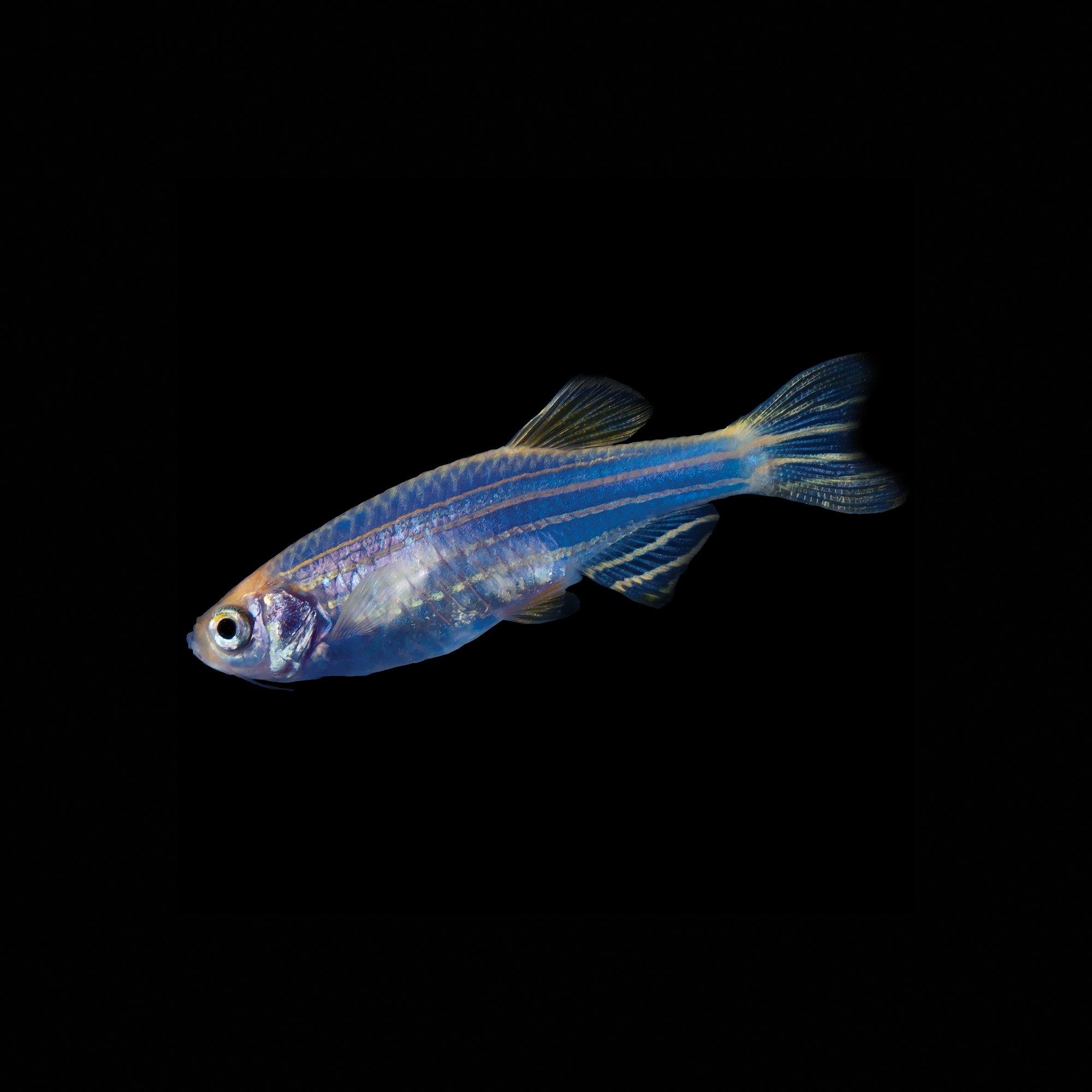 glofish cosmic blue danio
