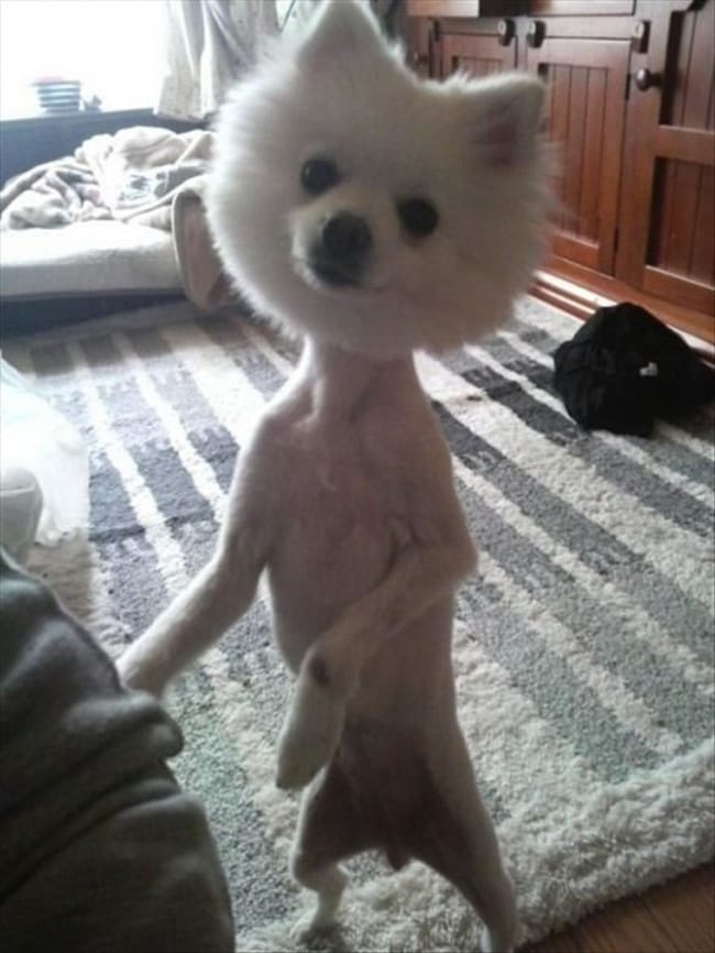 Lion Hair Cut For Dogs : Hilariously, Awful, Haircuts