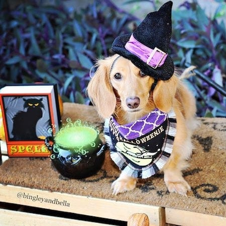 dog witch halloween costume