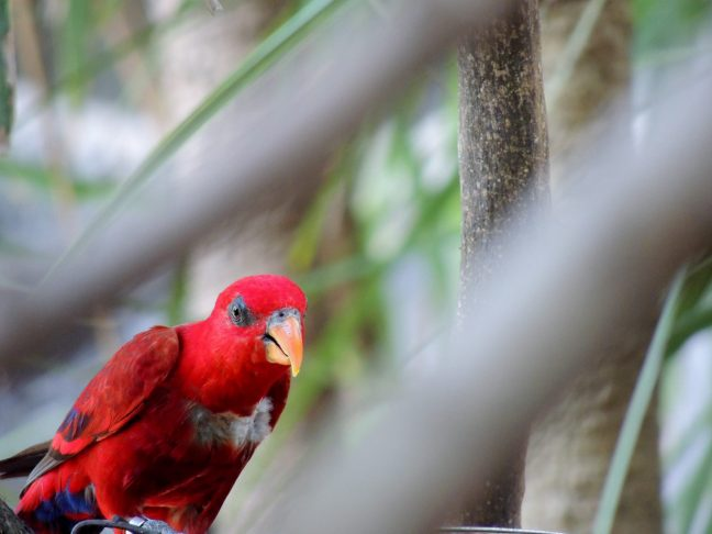 Red parrot.