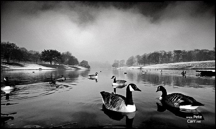 Geese in Sefton Park lake