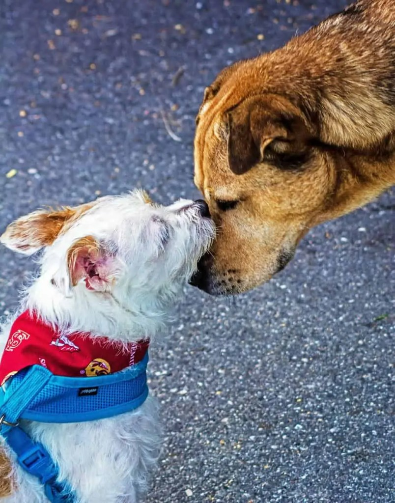 Parvo Contact With Another Dog