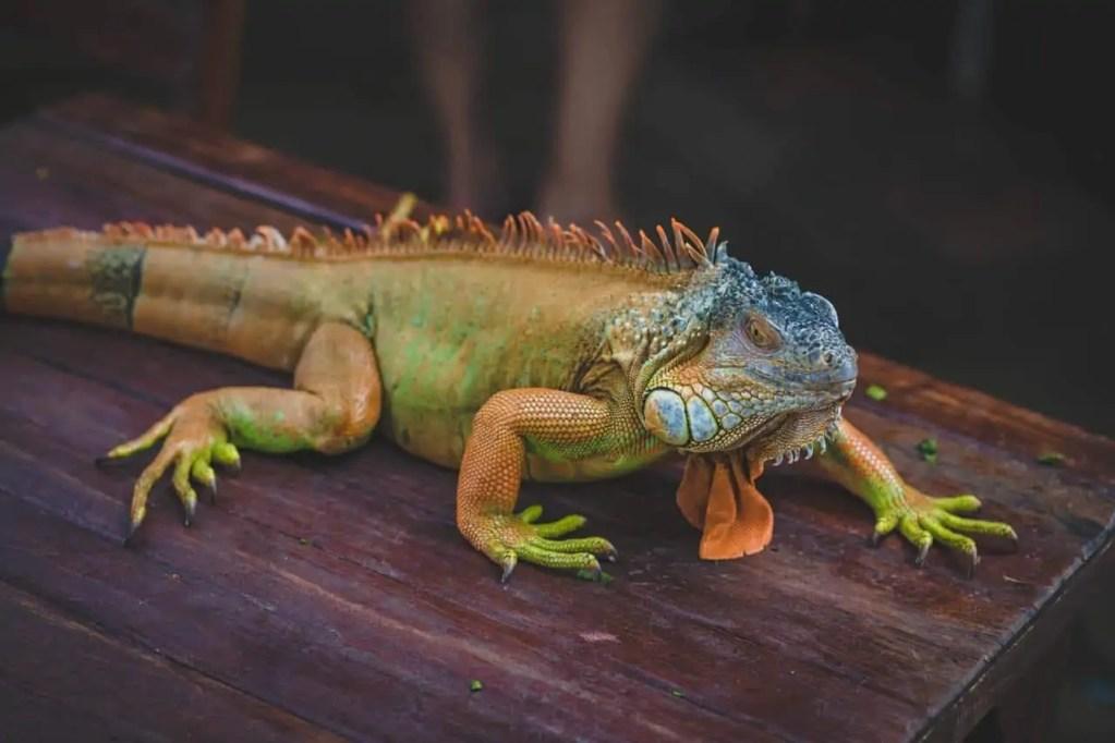 Iguana Growth Rate