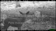 red deer_alert mum & fawn [PHWR]