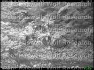 Roe deer fawn [PHWR]