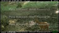 Roe deer male [PHWR]