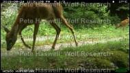 Roe deer_mum&fawn [PHWR]