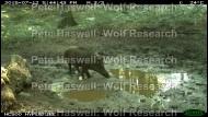 Wild boar_day (2) [PHWR]