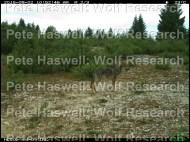 wolf [PHWR]
