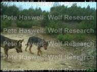 wolf_pups [PHWR]