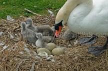 Swans @ Llanfairfechan
