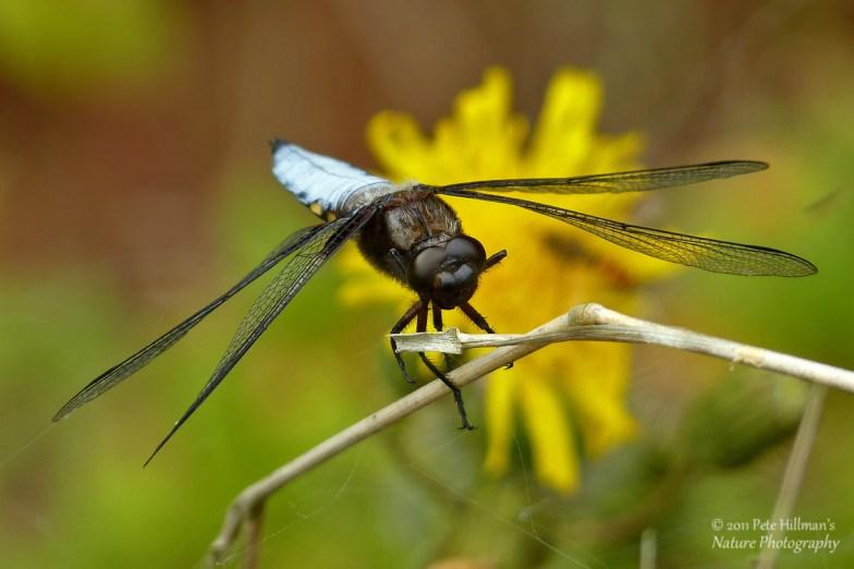 Broad-bodied Chaser (Libellula depressa) male
