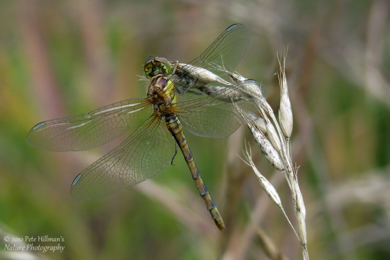 Common Darter (Sympetrum striolatum) female