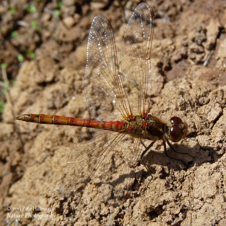 Common Darter (Sympetrum striolatum) male