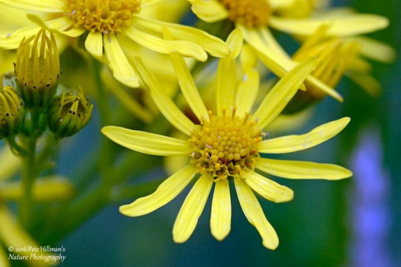 Common Ragwort (Senecio jacobaea) flower