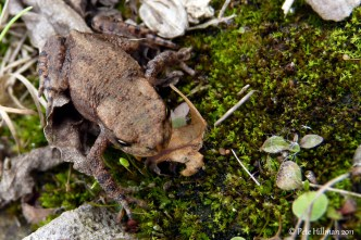 Common Toad (Bufo bufo) toadlet