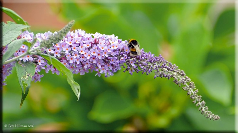 The Bumblebee And The Buddleia