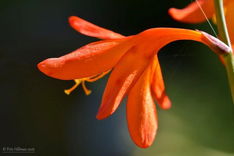 Montbretia (Crocosmia)