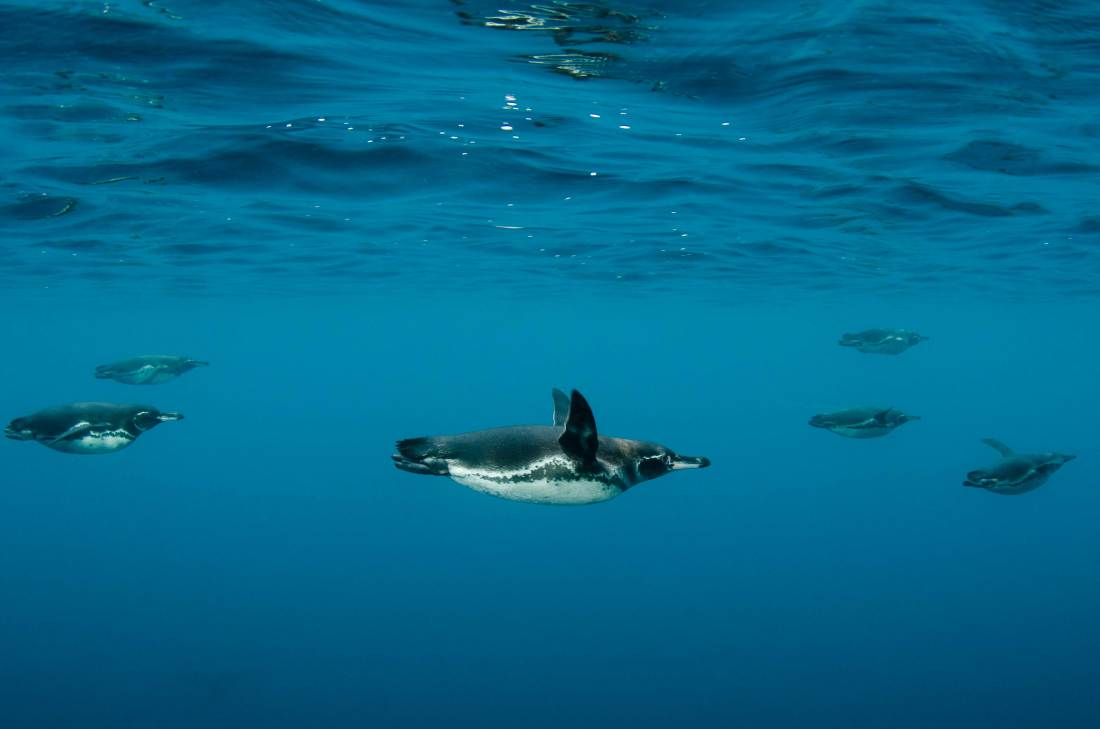 Endemic Galapagos penguins swim underwater. Photo by conservation photographer Pete Oxford