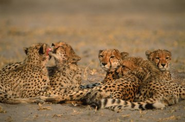 A cheetah family is shown resting together. Photo by wildlife photographer and conservation photographer Pete Oxford.