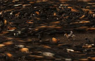 A chagra stands in the centre while cattle fall into line around him. Photograph by conservation photographer and cultural photographer Pete Oxford.