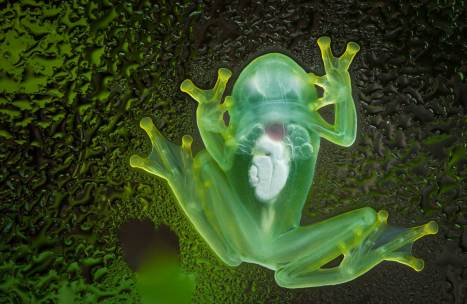 A glass frog rests with all its organs visible through its transparent skin. Photo by conservation and wildlife photographer Pete Oxford.