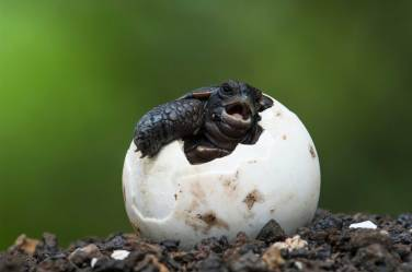 A Galapagos giant tortoise hatches from its egg. Photo by conservation and wildlife photographer Pete Oxford.