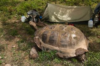 A giant tortoise shows its massive size next while making its way through a campsite. Photograph by conservation and travel photographer Pete Oxford.