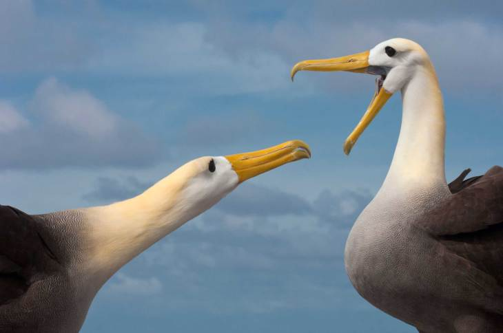 Pictured is part of the courtship ritual of Waved Albatross. Photo by conservation and wildlife photographer Pete Oxford.