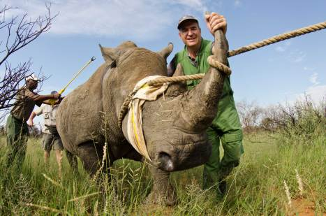 An endangered white rhinoceros is darted for relocation. Photograph by conservation photographer Pete Oxford.