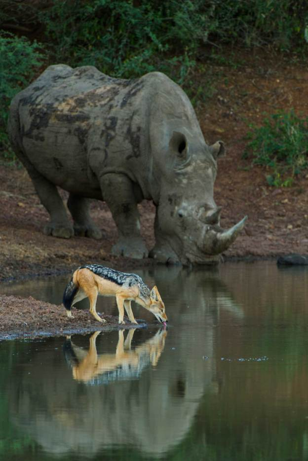 A white rhinoceros drinks from the same pond as a black-backed jackal. Photo by conservation and wildlife photographer Pete Oxford.