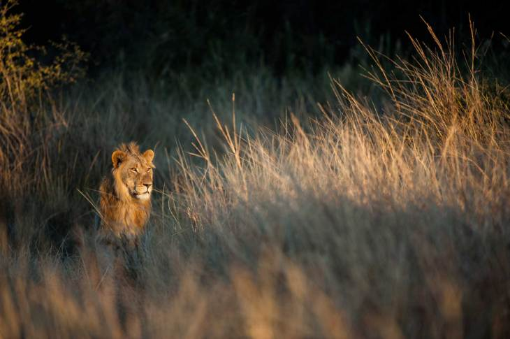 A lion looks into the light from his spot in the tall grass. Photo by conservation and wildlife photographer Pete Oxford.