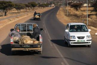 Lions darted for relocation are transported to an airfield via pick up truck. Photograph by conservation photographer Pete Oxford.