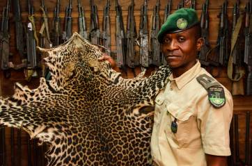 A park guard displays a confiscated leopard skin at Mbomo African Park's Congo Headquarters. Photograph by conservation photographer Pete Oxford.