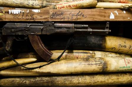Confiscated poached ivory sits on shelves along with an automatic rifle. Photo by conservation photographer Pete Oxford.